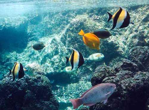 snorkeling-angelfish