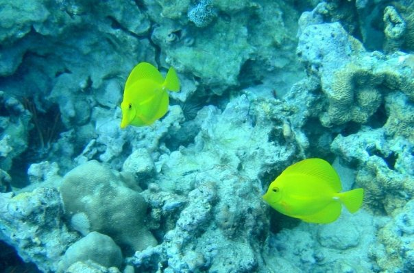 snorkeling-yellowfish